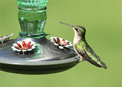 Hummingbird Nectar Recipe